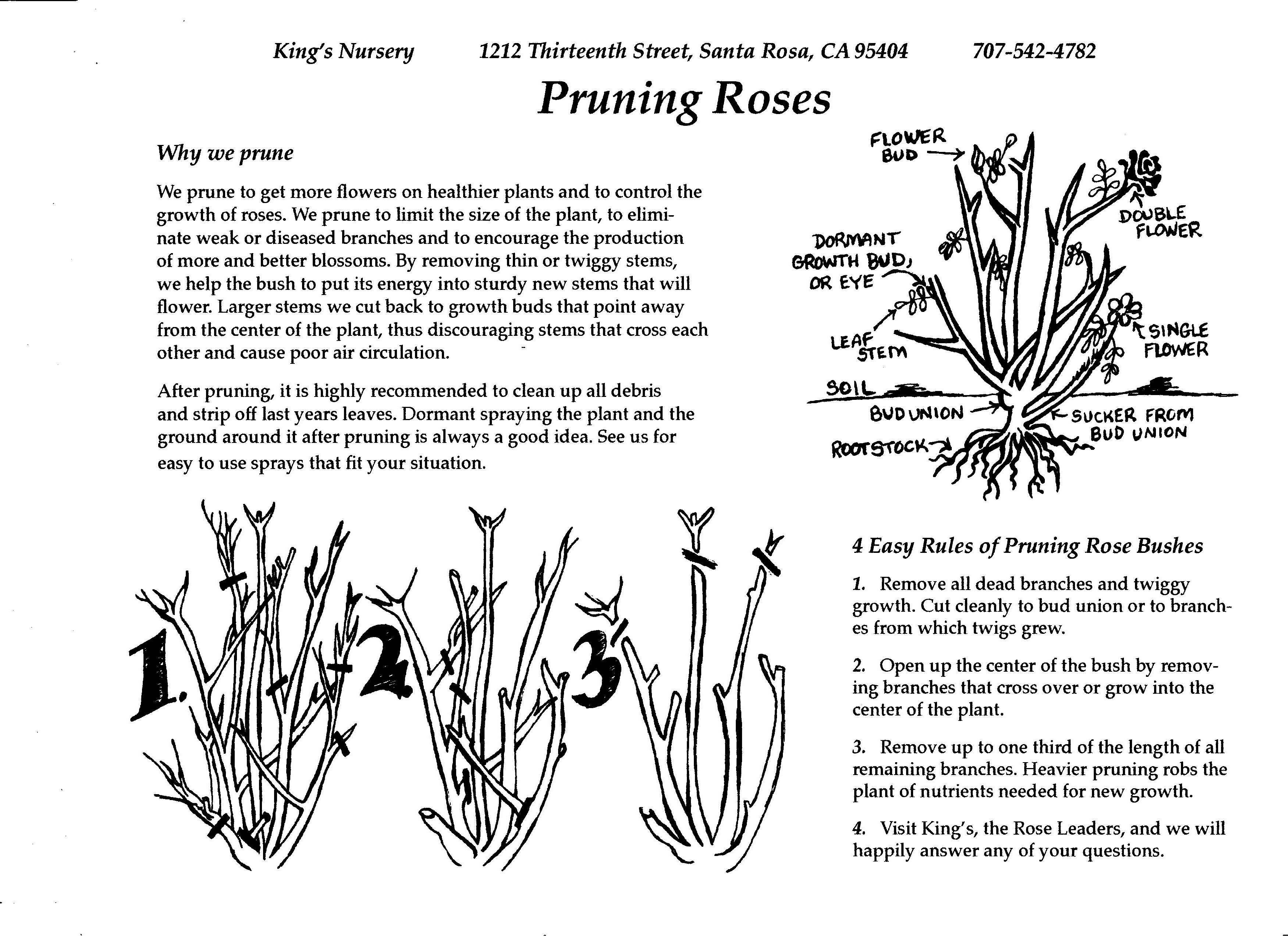How to prune a rose bush - Rose Care And Pruning
