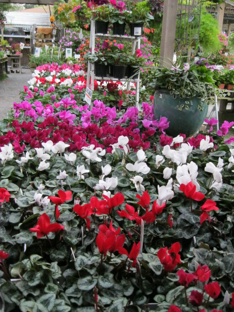 cyclamen for days