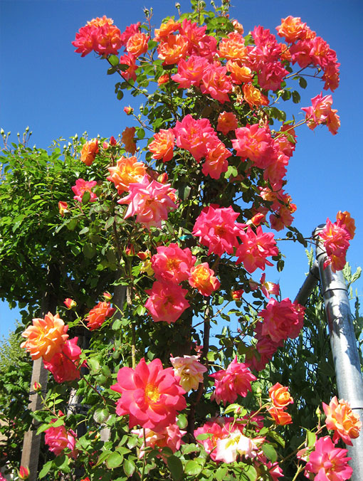 Rose and flower trees for sale at King's Nursery, Santa Rosa