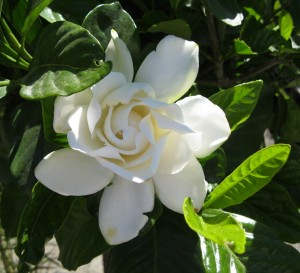 a-gardenia-in-the-nursery2-300x273